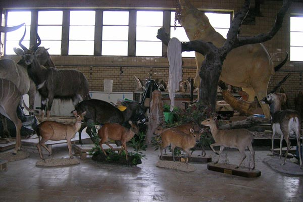 antilope4