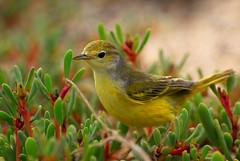Yellow Warbler (Prairie_Wolf) Tags: bird nature birds ecuador wildlife avian yellowwarbler travelphotography galapagosislands setophagapetechia rachelmackayphotography