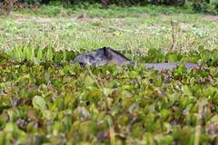 Anta (Hippopotamus terrestris) (Marco Abud) Tags: verde nature mt wildlife natureza bio vida anta matogrosso pantanal vegetao biologia biome mamfero abud vidaselvagem pocon tapirus bioma pantanalnorte poconmt marcoabudfotografia marcoabud abudfotografia hippopotamusterrestris poconmatogrosso hterrestris gnerotapirus tapiradae famliatapiradae mamferosulamericano