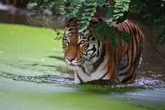 Very big Cat (Hugo von Schreck) Tags: cat tiger ngc greatphotographers flickrbigcats canoneos5dmarkiii tamronsp150600mmf563divcusda011