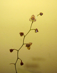 Stelis lentiginosa species orchid, 1st bloom  9-14* (nolehace) Tags: sanfrancisco orchid flower fall 1st bloom species doc 914 stelis lentiginosa nolehace fz35