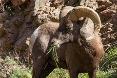 A bighorn sheep has a snack