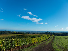 Willamette Valley View.10.19.14 (Linda Shapiro) Tags: blue fall oregon landscape vineyard october skies grapevines 2014 willamettevalley redhillsvineyard