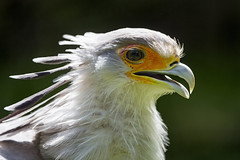 Secretary bird backlight