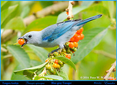 BLUE-GRAY TANAGER Thraupis episcopus Eating Orange Fruit in a Tree in Mindo in Northwestern ECUADOR. Tanager Photo by Peter Wendelken. (Neotropical Pete) Tags: ecuador ngc tanager solanaceae mindo pichincha bluegraytanager thraupisepiscopus thraupis bluegreytanager thraupidae ecuadorbirds southamericanbirds neotropicalbirds acnistusarborescens sanhaçudaamazonia peterwendelken ecuadortanagers southamericantanagers mindotanagers tanagerphotobypeterwendelken bluegraytanagerinecuador tangaraajuleja picopicofruit bluegraytanagereatingfruit picopicotree
