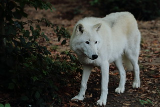 Arctic wolf 3