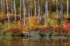 Among The Birches (Lindaw9) Tags: autumn lake ontario leaves lens colours ferns northern tamron birches nipissing