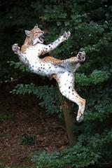 Banzai (Cloudtail the Snow Leopard) Tags: wildpark pforzheim tier animal mammal säugetier katze cat feline luchs lynx nordluchs europäischer eurasischer sprung jump springen nordluchseuropäischer cloudtailthesnowleopard
