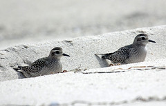 2 American Golden Plover 10/9/14 Nauset Outer Beach, Orleans, MA (petertrull) Tags: elements