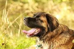 IMG_3786 (martin.paul) Tags: dog max dogs animal animals tiere location hund orte hunde tier locations ort beardog mogger fürthamberg bärenhund germanischerbärenhund germanbeardog oerlsdorf