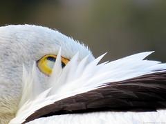 Shhh... please keep quiet (jk1668) Tags: pelican sx50