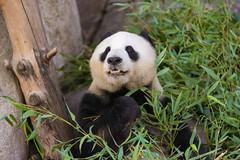 Mama Panda Bai Yun Eating (kent.c) Tags: china usa canon us panda sandiego bamboo sd socal endangered southerncalifornia sandiegozoo balboapark endangeredspecies sdzoo panda female kentc canon5dmarkiii 5dmarkiii zoohabitat bai kentcphotography yun