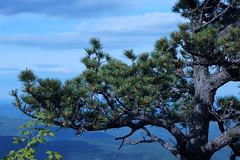 Pitch Pine on Hawksbill Mountain 2013-0526-177 (LostPineJim) Tags: northcarolina linvillegorge pitchpine pinusrigida burkecounty hawksbillmountain