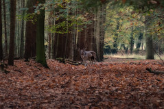 Autumn at German Wood with a Deer (chiemigau69) Tags: autumn fall leaves sunshine animal gardens germany october bokeh deer manualfocus hirsch