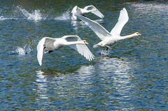 Swan landing (hjuengst) Tags: berlin water river swan wasser landing fluss spree schwan landwehrkanal landung nikond7000