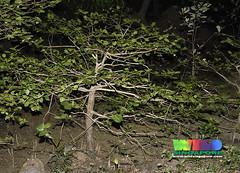 Gedabu (Sonneratia ovata) (wildsingapore) Tags: park tree nature island marine singapore underwater wildlife shore pasirris intertidal mangroves seashore marinelife ovata wildsingapore sonneratia