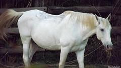 DSCF6917 (charliemaussane) Tags: horse cheveau