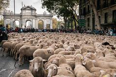 Pasando por la Puerta de Alcalá (thaisa1980) Tags: madrid sheep flock tradition tradición 2014 puertadealcala ovejas rebaño trashumancia pasturage pastoreo cañadareal