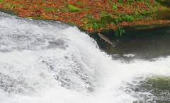 Jumping salmon III (Wolfram Burner) Tags: lake fish cold history water oregon creek waterfall triangle natural salmon migration chinook burner biology steelhead wolfram coho spawing