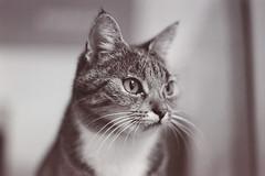 Mia Portrt (judith.miau) Tags: portrait blackandwhite bw cats cat portrt katze ilfordxp2 pentaxmesuper katzen schwarzweis smcm1750mm