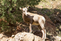 A bighorn lamb plays king of the mountain
