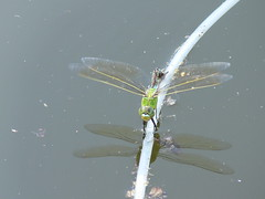 Brücke (rainer.marx) Tags: leica lumix panasonic teich libelle insekt fz30