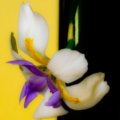 Iris Swirl (Jack o' Lantern) Tags: flowers iris