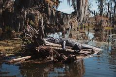 46 (kylen.louanne) Tags: portrait nature cat louisiana alligator gators bayou swamp cypresstrees lakemartin breauxbridge swampcat