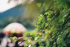 little leaves (katy.wang) Tags: china tree film me leaves 35mm pentax kodak bokeh sunny super tibet 100 pentaxmesuper ektar