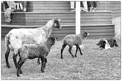 Curiosity (Xerethra) Tags: bw dog nature animals rural 35mm geotagged spring nikon europe sheep sweden natur may lamb sverige maj vår får djur svartvit järfälla lamm 2013 görväln stockholmslän nikond80 dikartorp snutenvägen