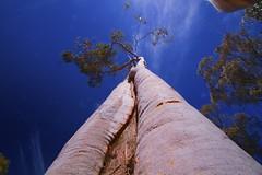 Pink Ghost Gum (maginoz1) Tags: canon spring oct australia 7d vic 2014 sunbury pinkghostgum