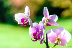 nuances de mauve (Barthmich) Tags: white france orchid flower macro green nature fleur nikon purple bokeh 85mm vert petal mans le orchidaceae mauve  blanc ptale toile  orchide  lightroom sarthe   beyondbokeh d3100