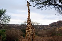 safari in kenya (PIZZO76) Tags: africa park travel wild holiday kilimanjaro nature animals kenya outdoor safari lions zebra giraffe elephants viaggi masai tsavo amboseli