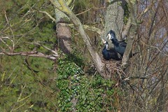 IMGP6873 Cormorant nest, Paxton Pits February 2014 (bobchappell55) Tags: nest cormorant paxtonpits