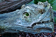 Tree-Rex (Mr.Kropp) Tags: wood tree monster forest canon woods king dragon dino dinosaur cut timber kunst fear beak jura fantasy rex holz jurassic trex moos tyrannosaurus fantasie dinosaurier urzeit biest fantastisch borke holzdrache 1100d vergessenewelt holzdino