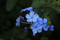 (Yorozuna / ) Tags: blue plant flower  plumbago   plumbagocapensis    blueplumbago capeplumbago