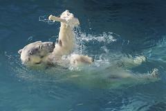 """I found the prize!"" (ucumari photography) Tags: november animal mammal zoo nc north polarbear carolina anana ursusmaritimus 2014 oursblanc osopolar ourspolaire ucumariphotography dsc6284"