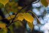 Yellow is beautiful - ! (rotraud_71) Tags: autumn leaves bokeh kurpark vanagram blinkagain