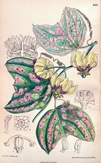 Passiflora punctata (1906). Yellow flowers are wonderfully fragrant. Native to Mexico and Jamaica. Introduced in 1733. (Swallowtail Garden Seeds) Tags: flowers plants illustration vintage garden botanical gardening vine yellowflower climbing botany santarosa horticulture perennial fragrance publicdomain flowergarden vintageillustration botanicalillustration flowerillustration swallowtailgardenseeds vineillustration