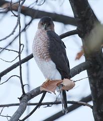 IMG_2672-1 Cooper's Hawk (John Pohl2011) Tags: bird canon john hawk raptor 100400mm birdofprey pohl perching t4i 100400mmlens canont4i