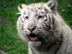 Belgie - Olmen - Olmense Zoo (Henny Brouwers) Tags: tijger tigre