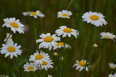 daisies (Sheeps and Peeps Farm) Tags: daisies wildflowers foraging naturaldyeing wildcraft