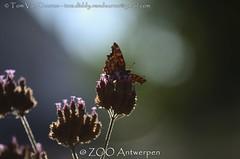 gehakkelde aurelia - Polygonia c-album - Comma (MrTDiddy) Tags: gehakkelde aurelia polygonia calbum comma vlinder butterfly insect zooantwerpen zoo antwerp antwerpen