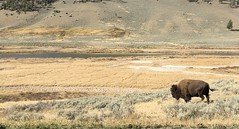 As It Should Be (A Wild Western Heart) Tags: king bsion lamarvalley yellowstone nationalpark nature wild western wildwest