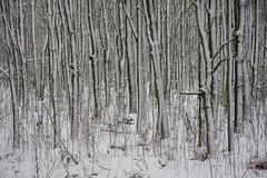 ckuchem-1656 (christine_kuchem) Tags: baumrinde buche bume eiche eis frost hainbuche natur pfad pflanzen ruhe samen spuren stille struktur wald weg wildpflanzen winter einsam kalt schnee ste