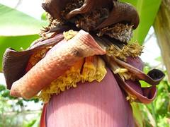 Musa acuminita 4 (heinvanwinkel) Tags: 2012 banaan bloemvandedag commelinids euphyllophyta hortus leiden liliopsida magnoliophyta mei mesangiospermae musaacuminata musaceae nederland petrosaviidae spermatophyta tracheophyta zingiberales