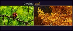 Collection t-automne  / Summer-Autumn collection (www.nathalie-chatelain-images.ch) Tags: mlzes larches arbres trees conifer t summer automne autumn feuilles leaves nikon montage collage conifre