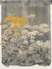 Gold (~ Meredith ~) Tags: new55film instantfilm positive intrepidcamera bw bwphotography filmwins polaroidweek ishootfilm filmisnotdead largeformat 4x5 filmphotography fscpolaroid monochrome flower polavoid fleetingmoments autumn2016 snapitseeit film flora chasinglight