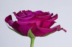 Side light & Rose (stu cook) Tags: rose flower pentax k5 torchlight sidelight