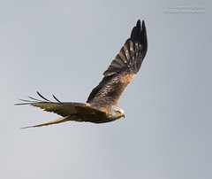 Red Kite - Milvus milvus (rosebudl1959) Tags: redkite raptor birdofprey wales 2016